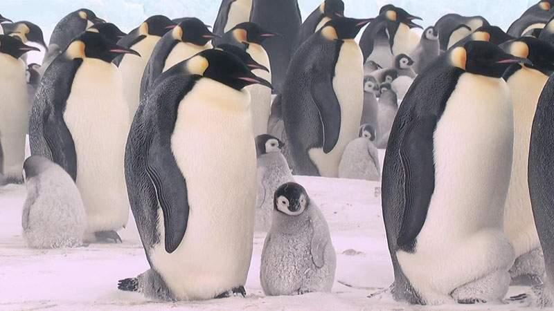 摄制队与南极野生动物包括帝王企鹅和南极半岛座头鲸共度五百个小时而
